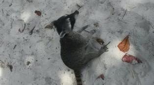 mapache en manuel antonio